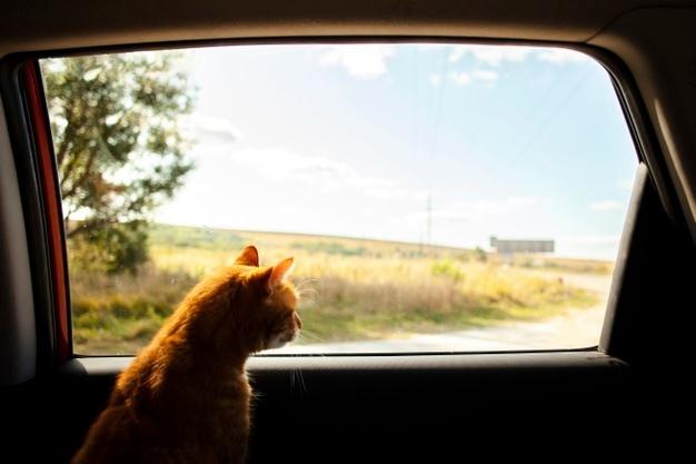 https://image.freepik.com/free-photo/cat-siting-back-seat-looking-outside_23-2148321791.jpg