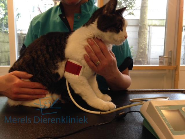 kat bloeddruk meten
