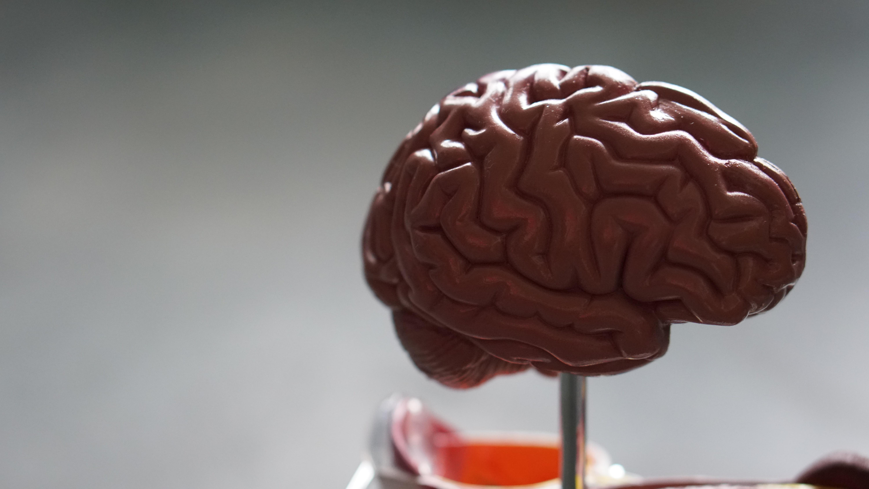 Notre cerveau se prépare constamment à l'action