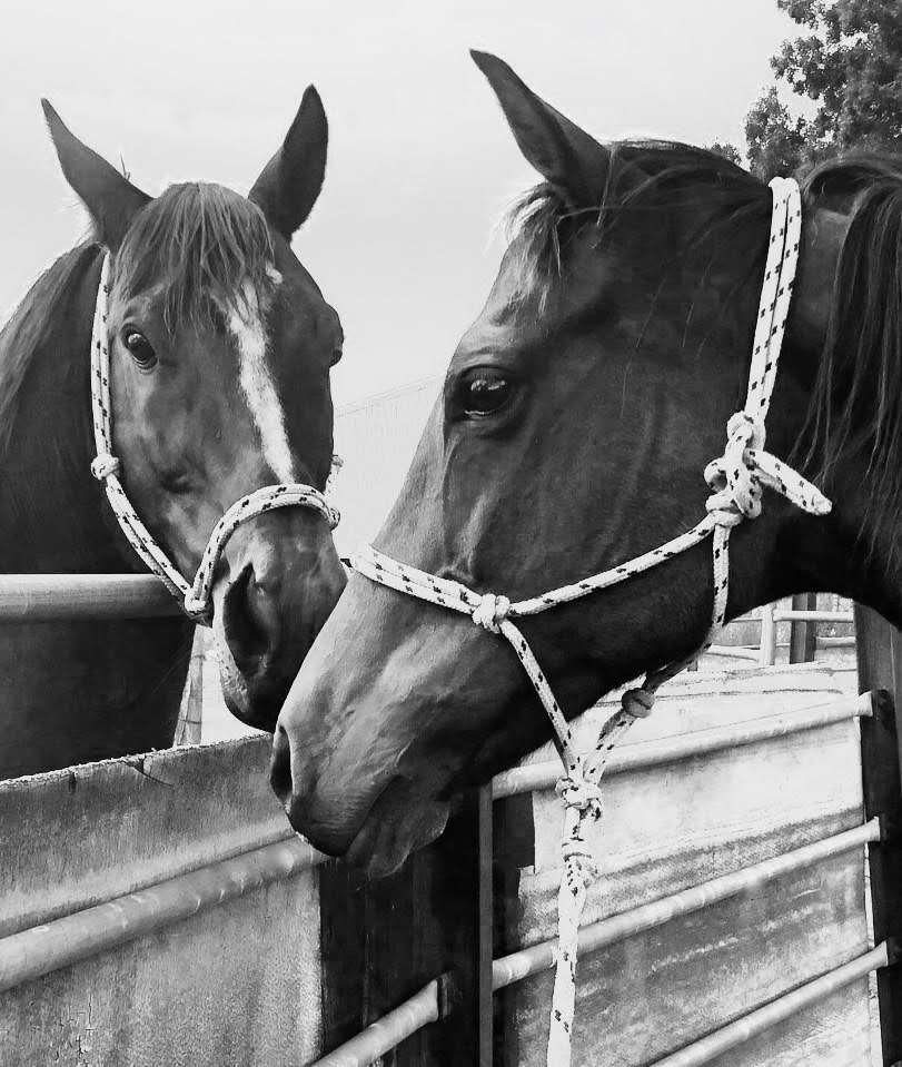 black and white photo of two close up horses