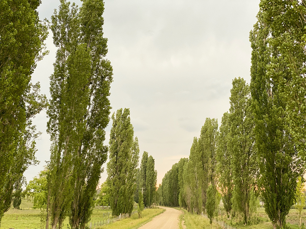 driveway lined with poplar trees
