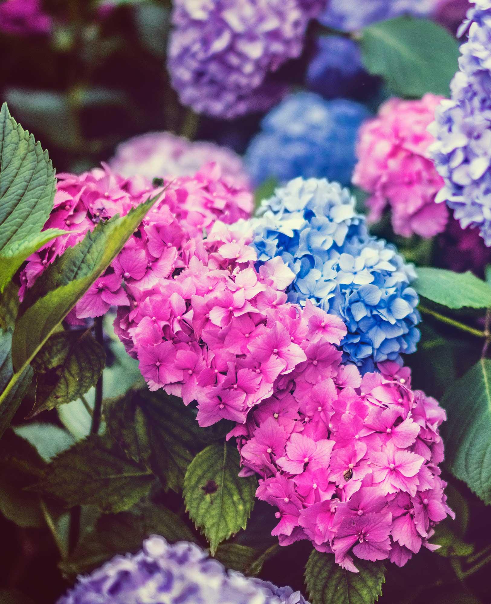 Multicolored hydrangea