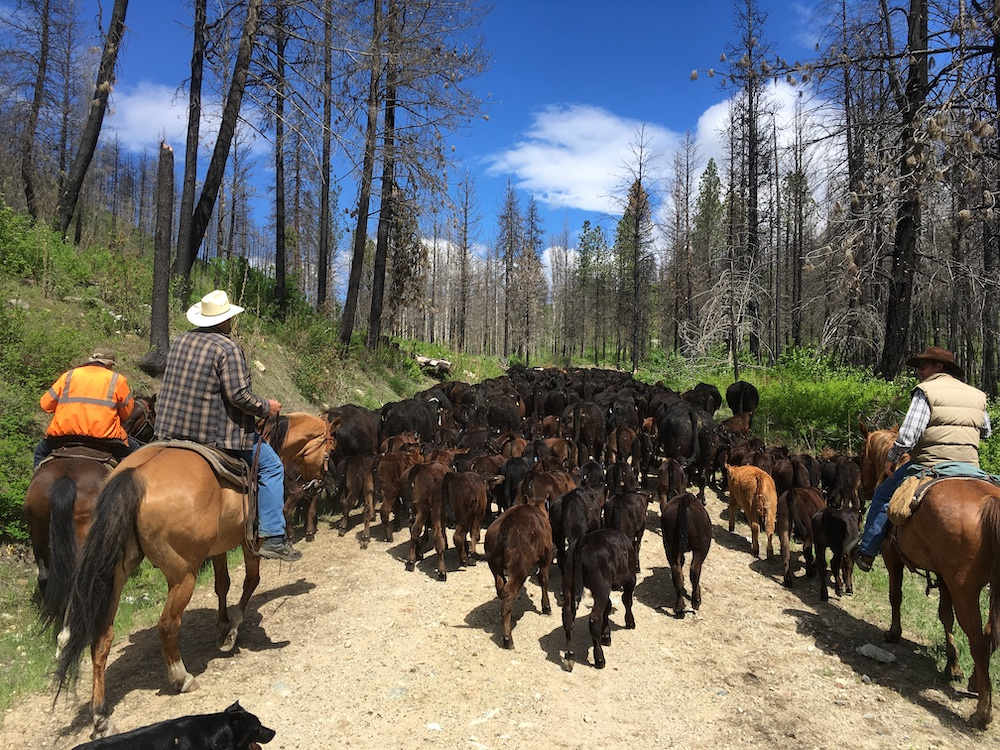 Okanogan County livestock producers move cattle from one pasture to another