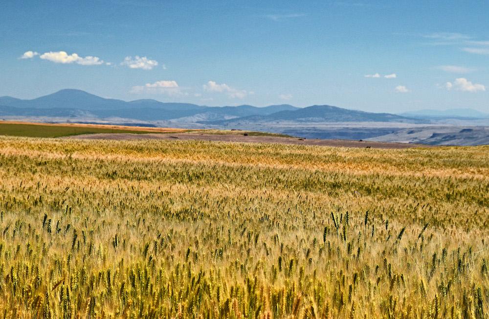 Ripening wheat fields in Douglas County by Amanda Ward