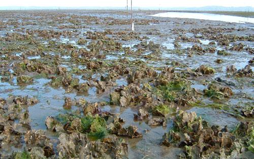 Shellfish farming