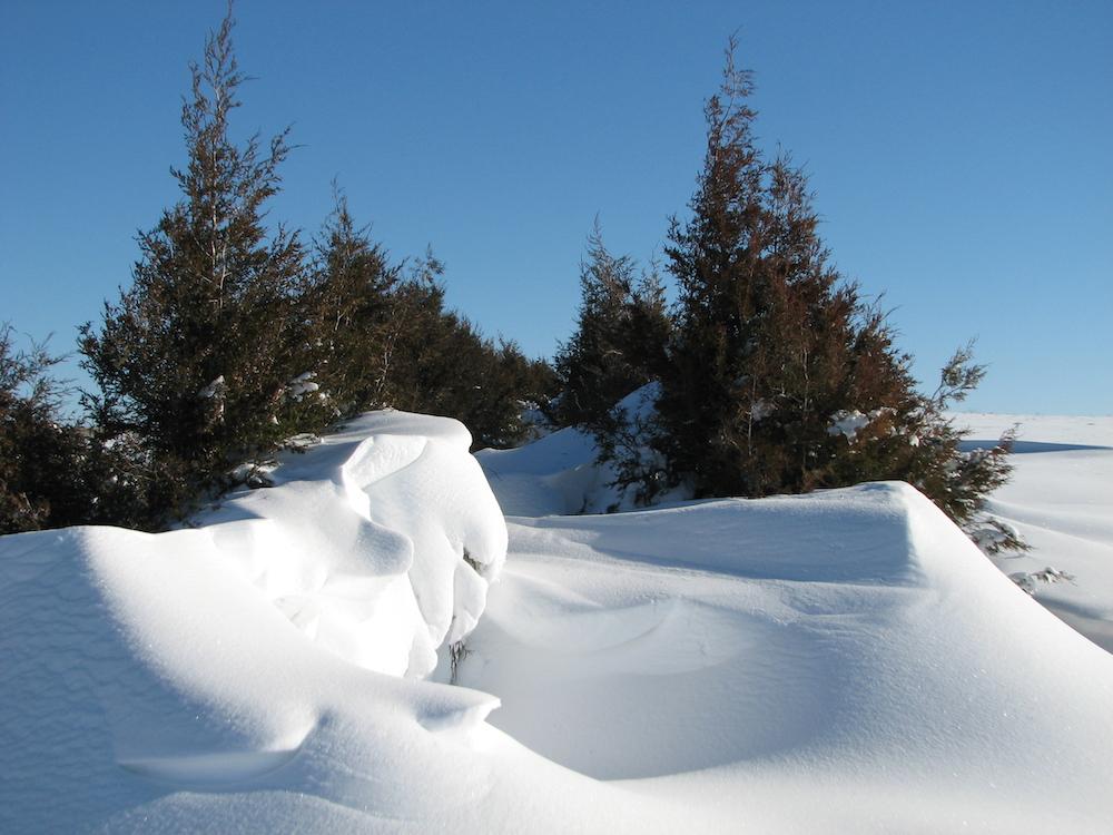 Living snow fence