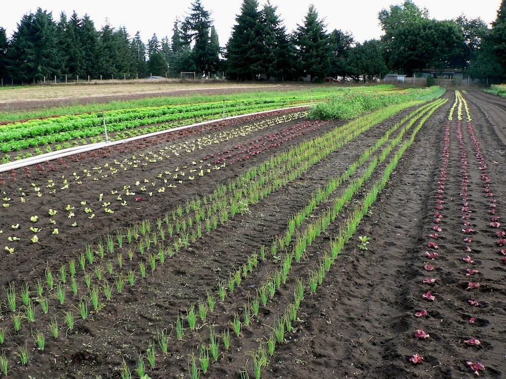 Kirsop Farms row crops