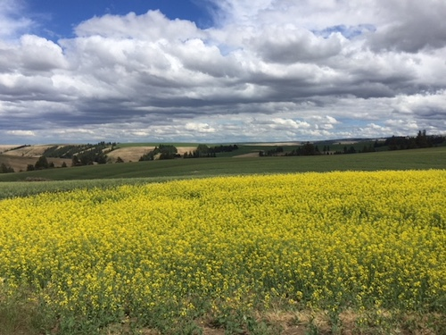 Canola being used in crop rotation