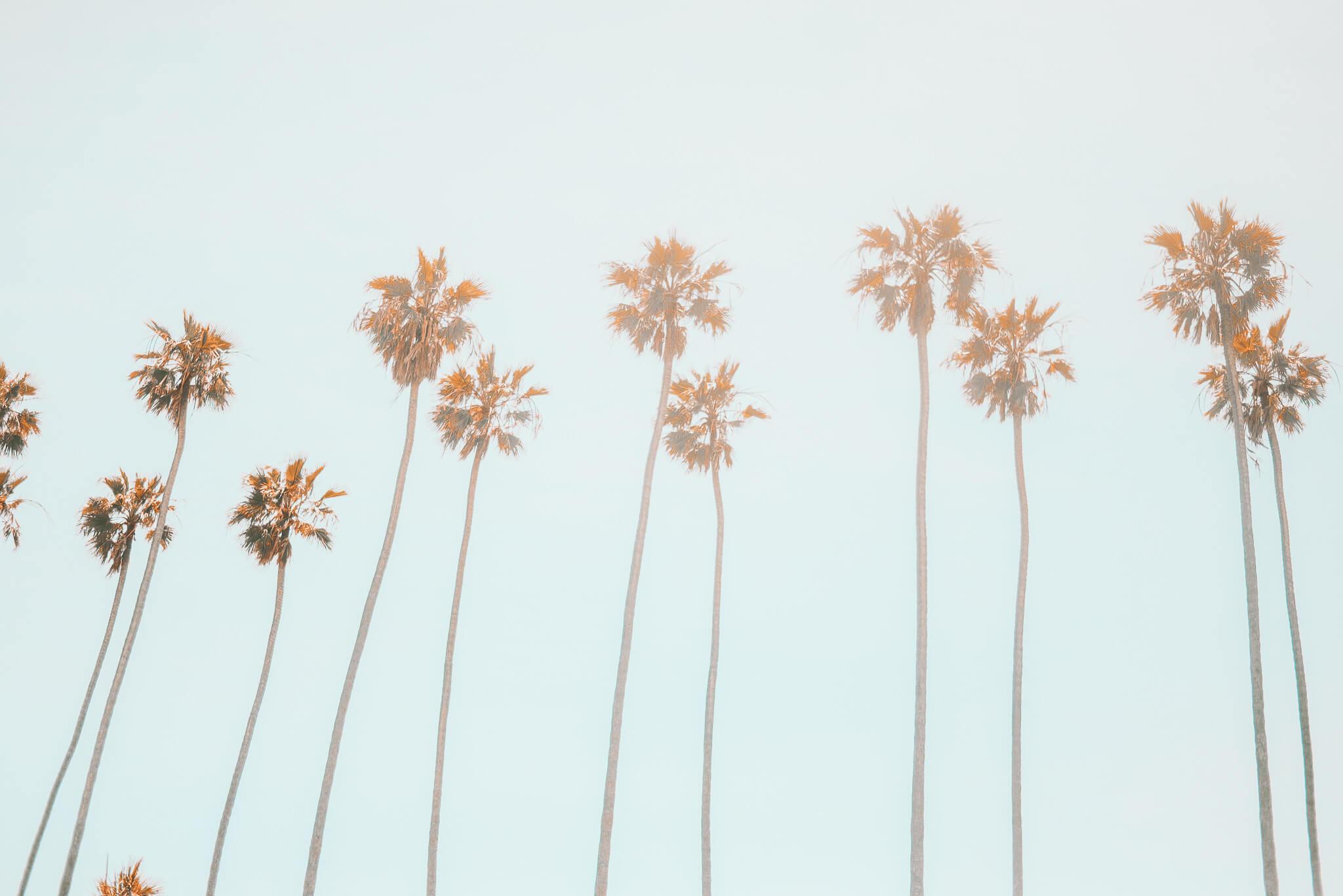 Palm trees with a blue sky.