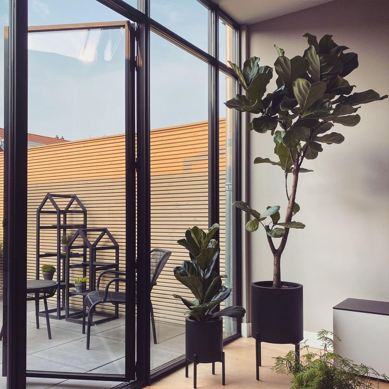 Ficus Lyrata Tabaksplant Vioolplant Makkelijke Kamerplant