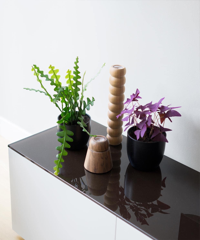 Zaagcactus en oxalis: twee makkelijke kamerplanten