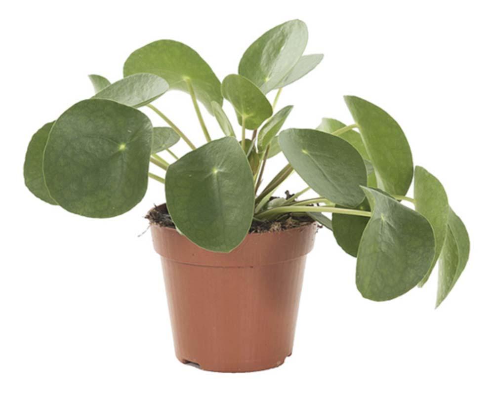 Pannenkoekplant Pilea Peperomioides makkelijke kamerplant