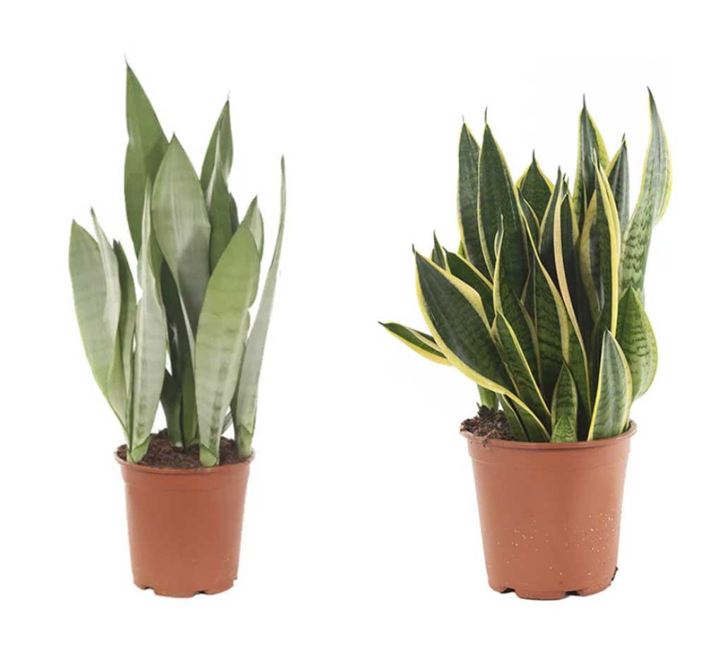 Sansevieria trifasciata: vrouwentong sterke kamerplanten