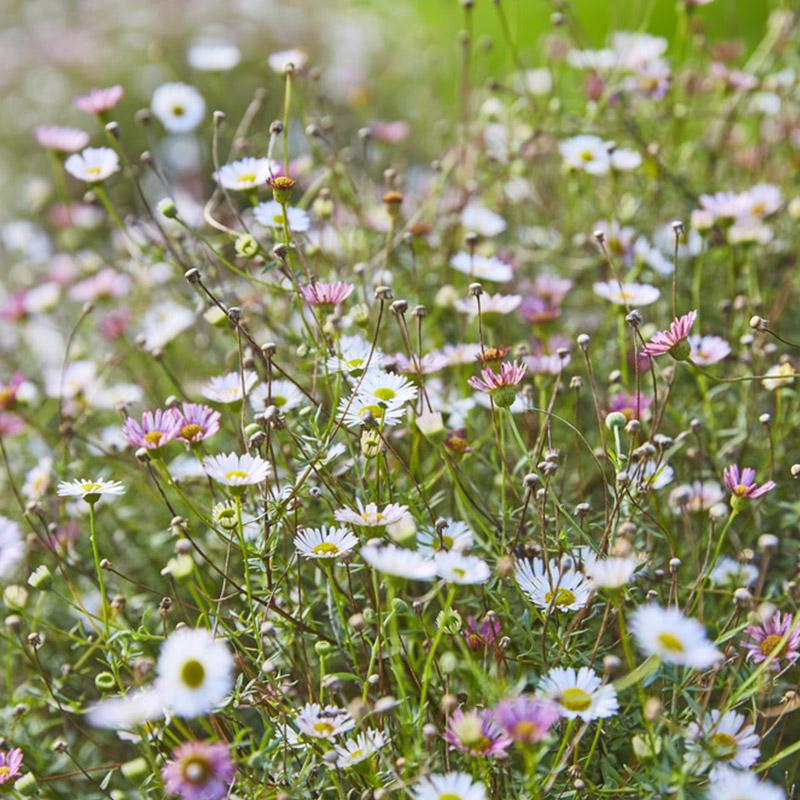 Erigeron karvinskianus | Bodembedekkers | Vaste planten | Muurfijnstraal