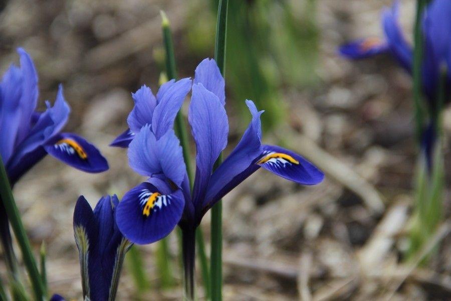 Dwergiris (Iris reticulata 'Harmony') | Iris reticulata, Irissen, Iris