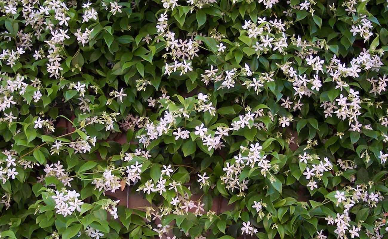 Toscaanse jasmijn | Klimplant | witte bloemen