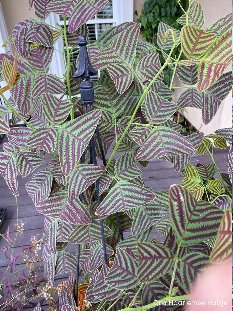 Christia Obcordata / Butterflywing plant