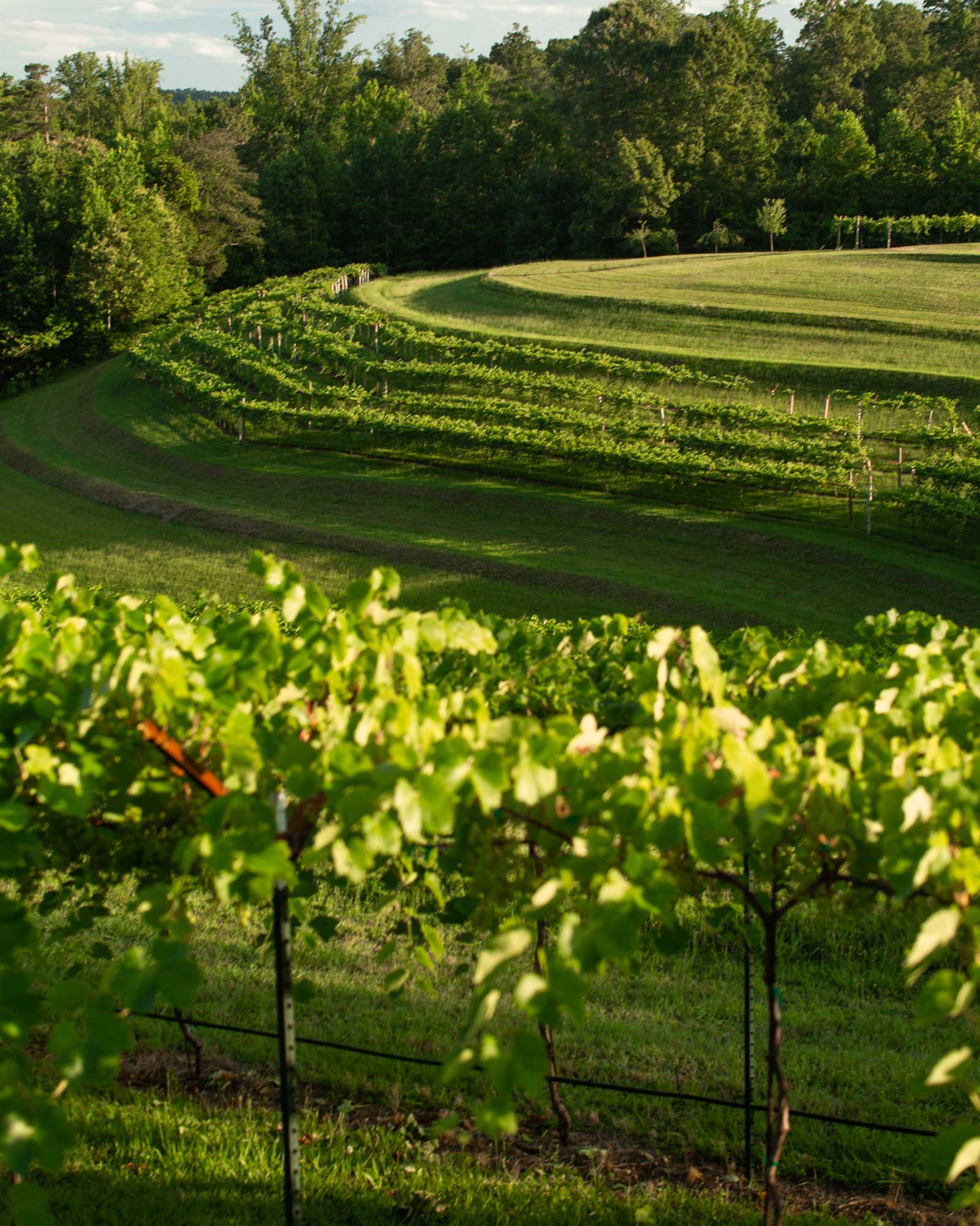 Grapevines in front of a hill