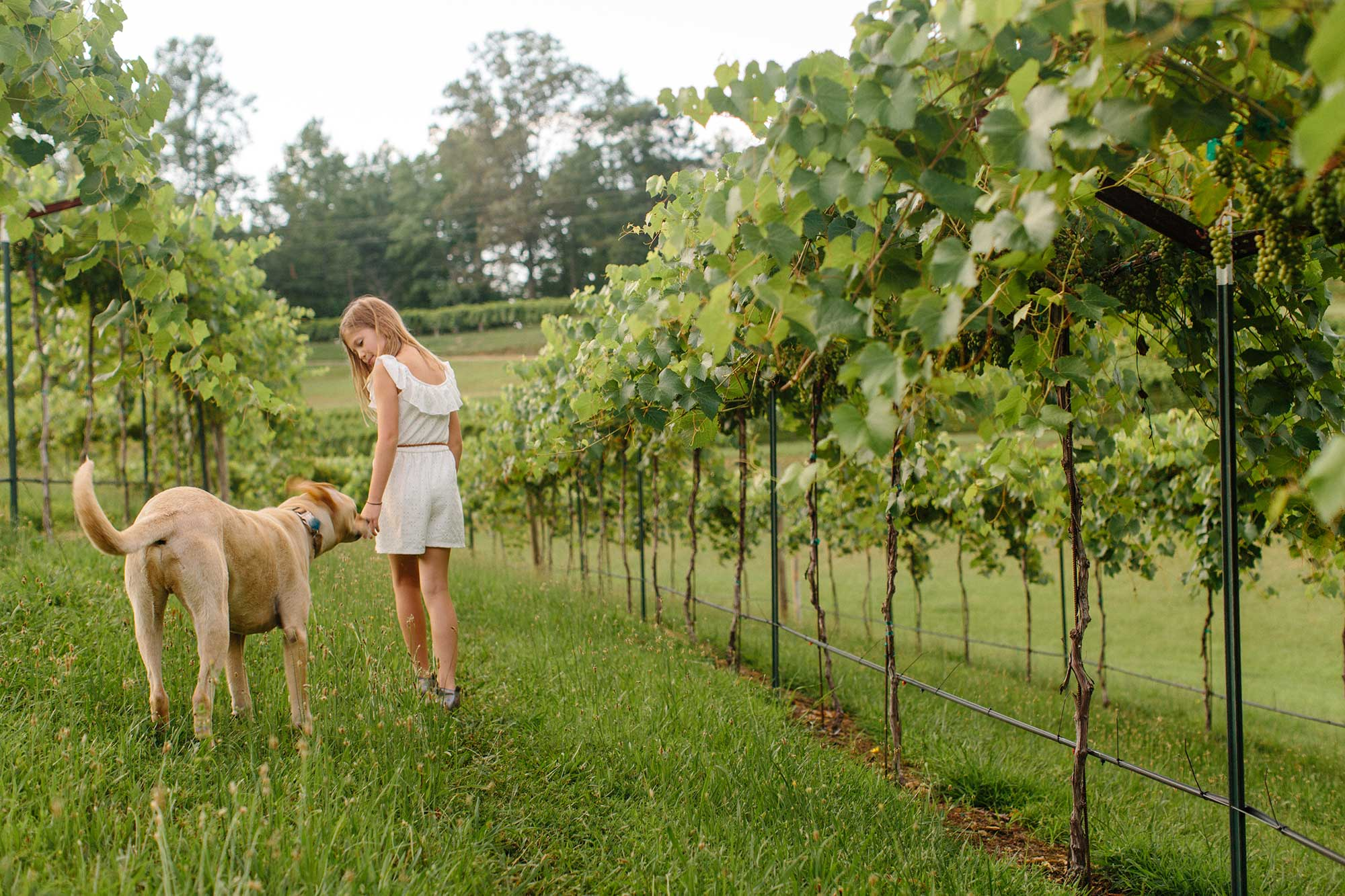 A girl and a dog walk through the vineyard