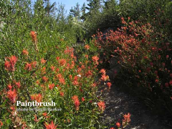 The red colored Paintbrush flower is found everywhere along the trails in the Basin.