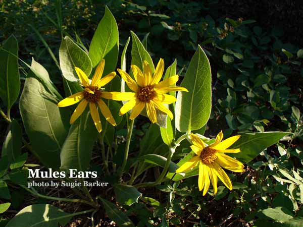 Mules Ears a large yellow daisy like flower with leaves taller than the flower.