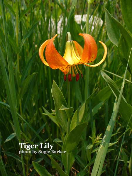 Orange Tiger Lily flowers grow in the lush meadows of the Lakes Basin.
