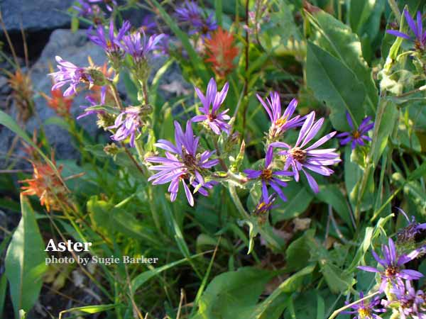 The little daisy like blue Aster grows up to a foot in height. There are three different varieties in the Lakes Basin.