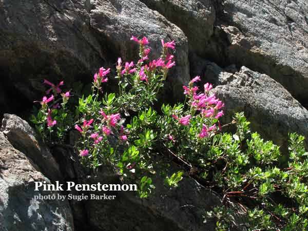 The Pink Penstemon grows in rocky areas and loves the sun. It is also called Pride of the Mountain and is some of the first flowers to bloom in the Spring.