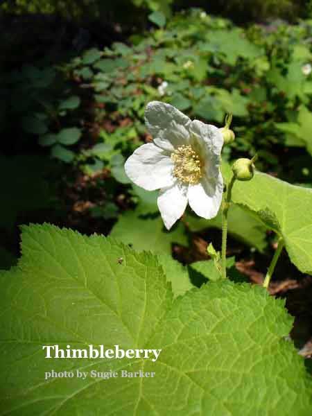 The soft white flower of the Thimbleberry plant grow in profusion along the Round Lake trail. The wild raspberry ripens near the end of the summer.