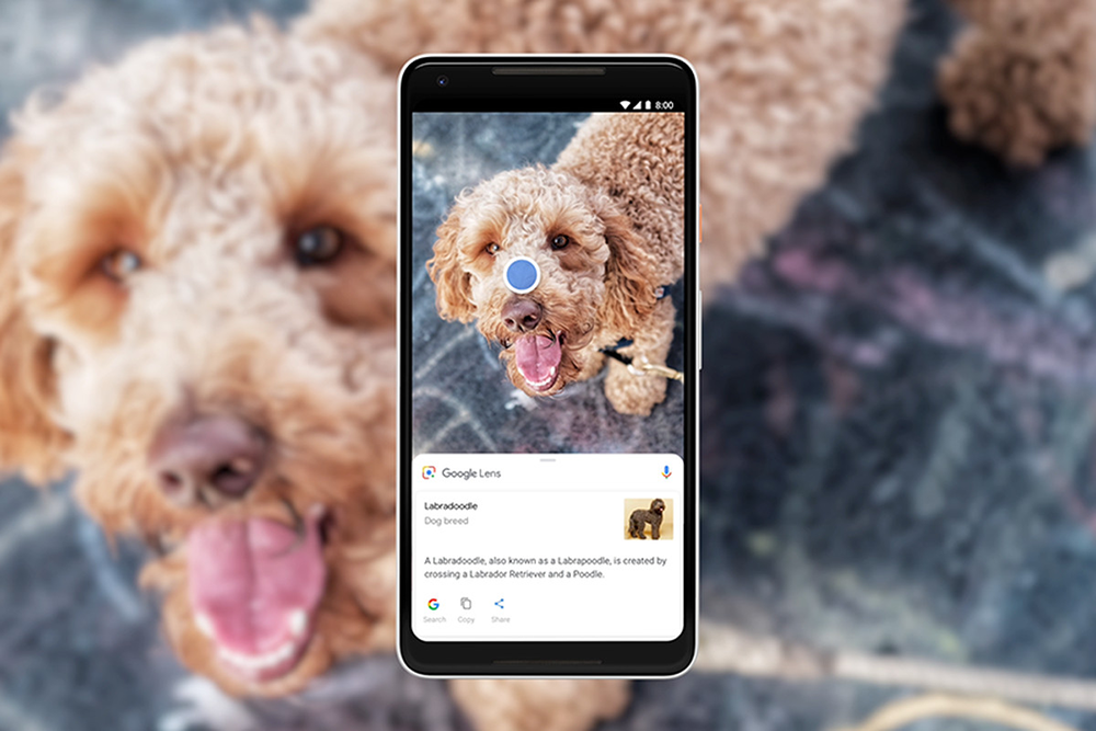 Using Google Lens on a dog to identify its type as a labradoodle