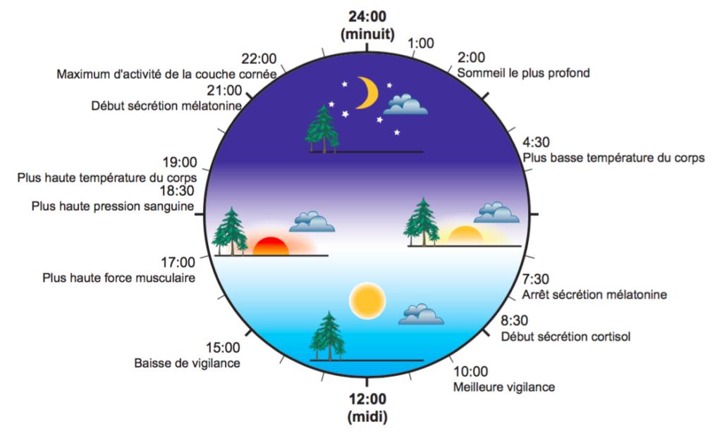 Schéma représentant le rythme circadien