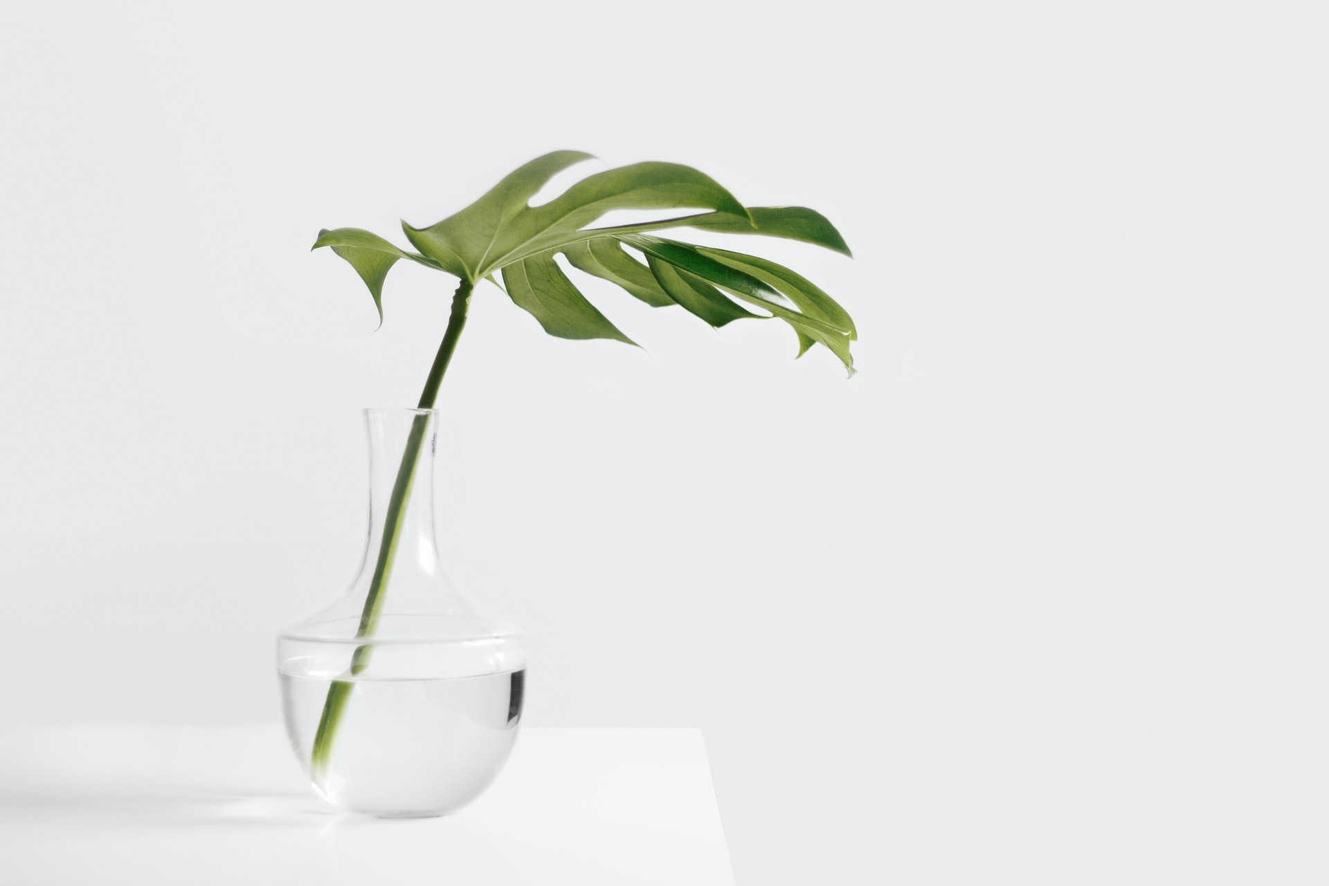 An image of a fiddle-leaf fern in front of a shite background