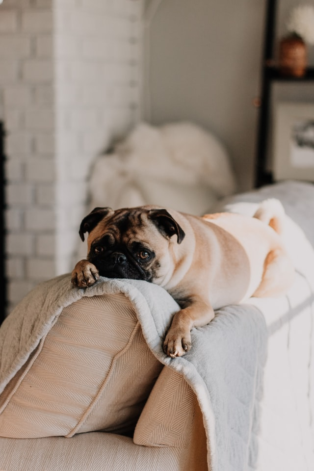 An image of a pug sitting on a couch looking toward the camera