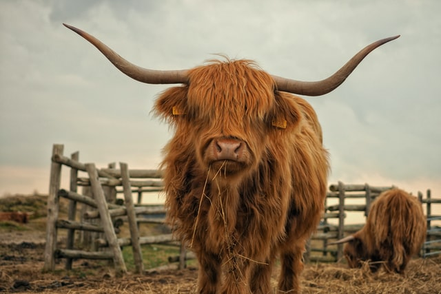 An image of a long-horned, shaggy cow