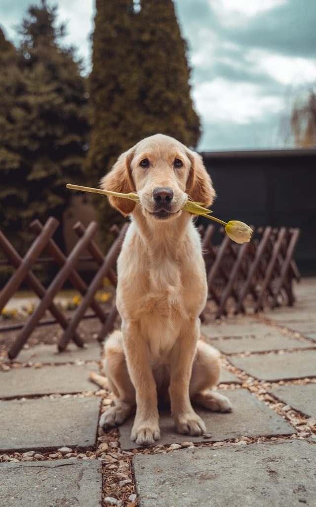 An image of a golden retriever holding a rose in its mouth. It's very cute.