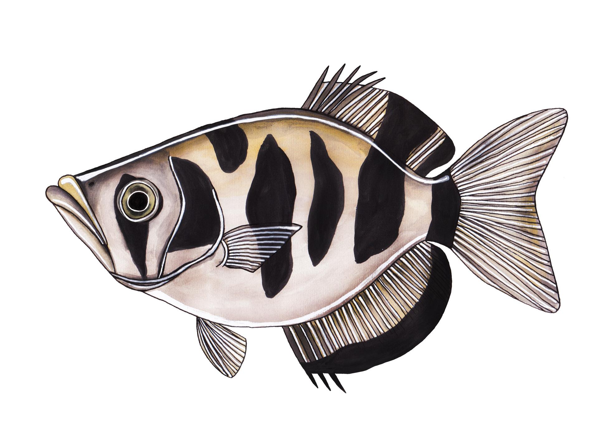 Schuttersvis