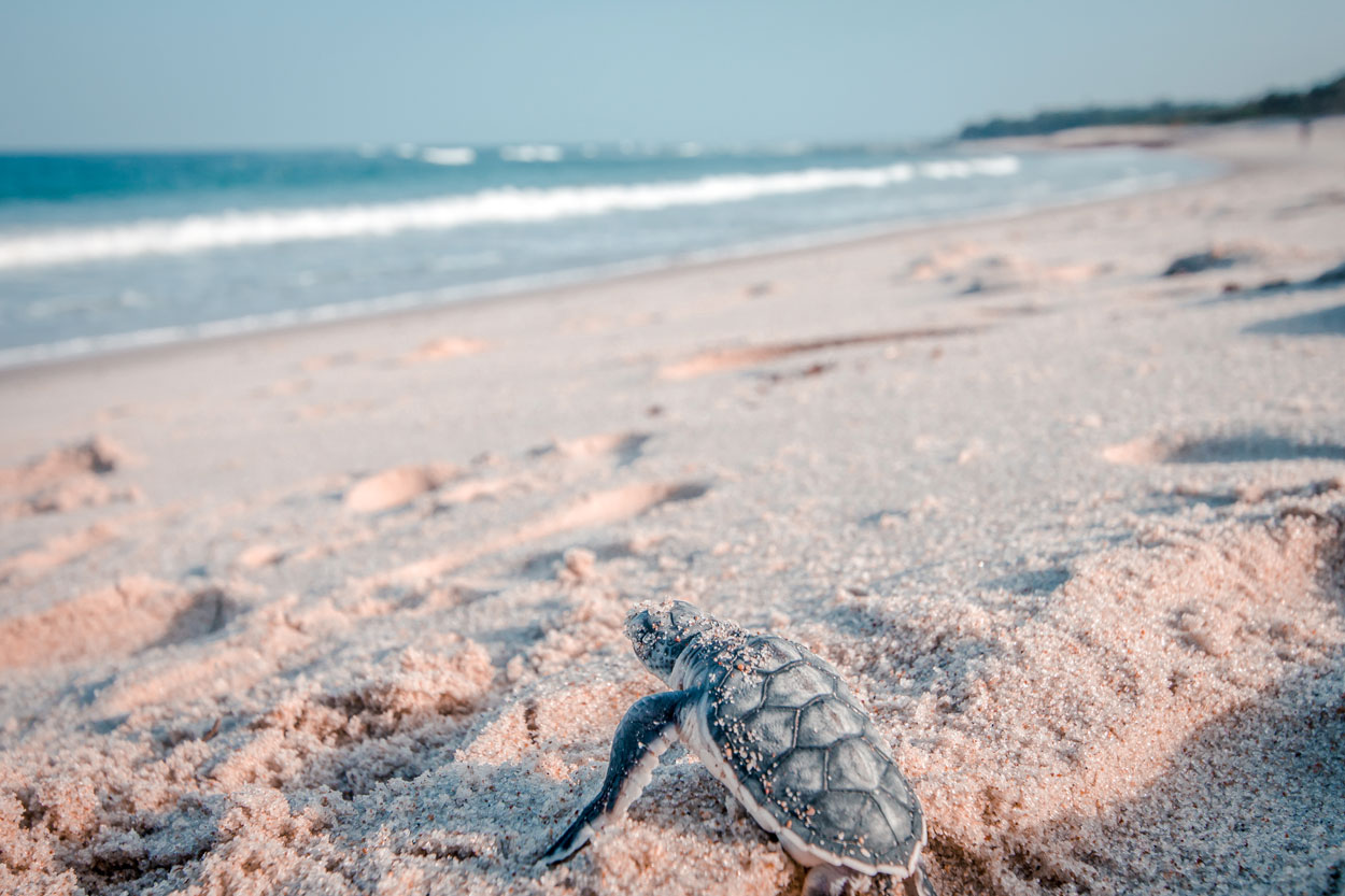a baby turtle on a clean sandy beach goes from its nest into the water