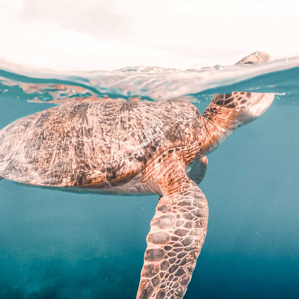 a sea turtle swimming in clear ocean water