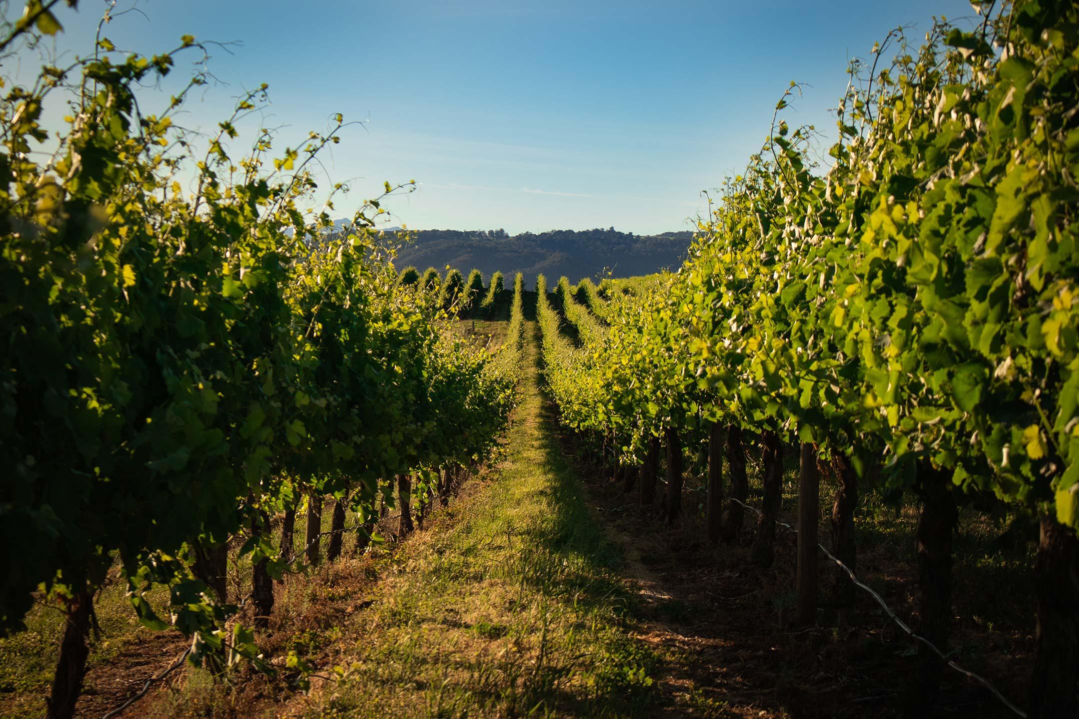 Walking through the grown vineyards in summer.