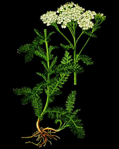 Illustration of the yarrow plant