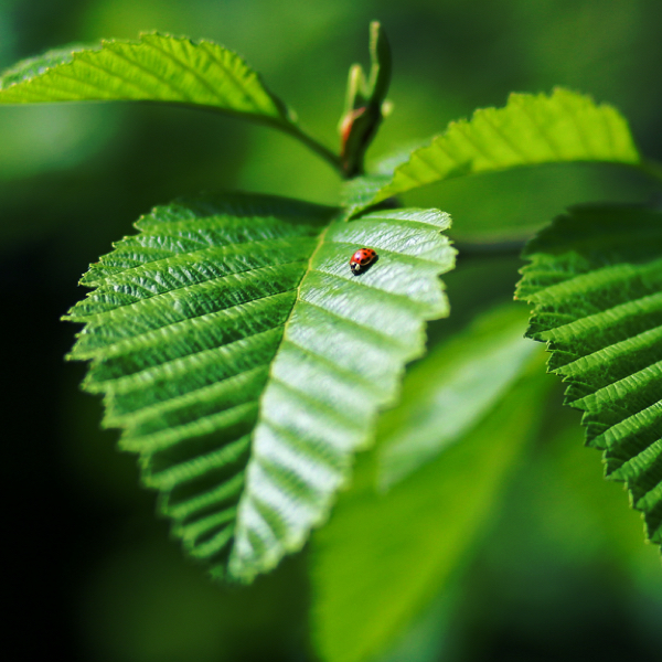 Learning from Red Alder