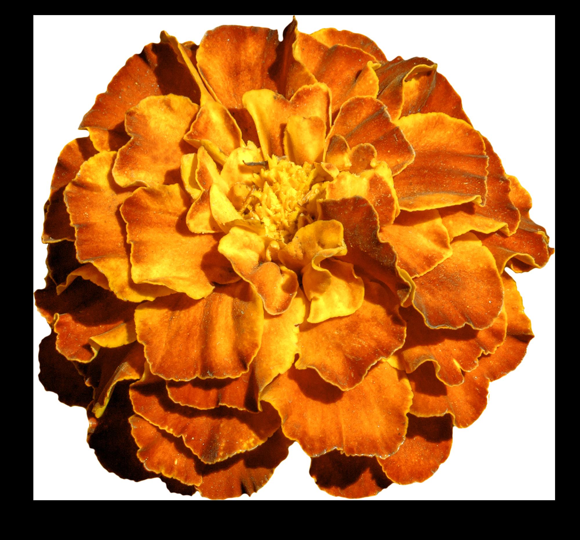 photo of a single marigold