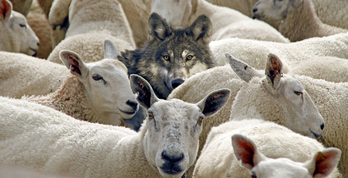 A wolf in standing disguised in the midst of sheep.