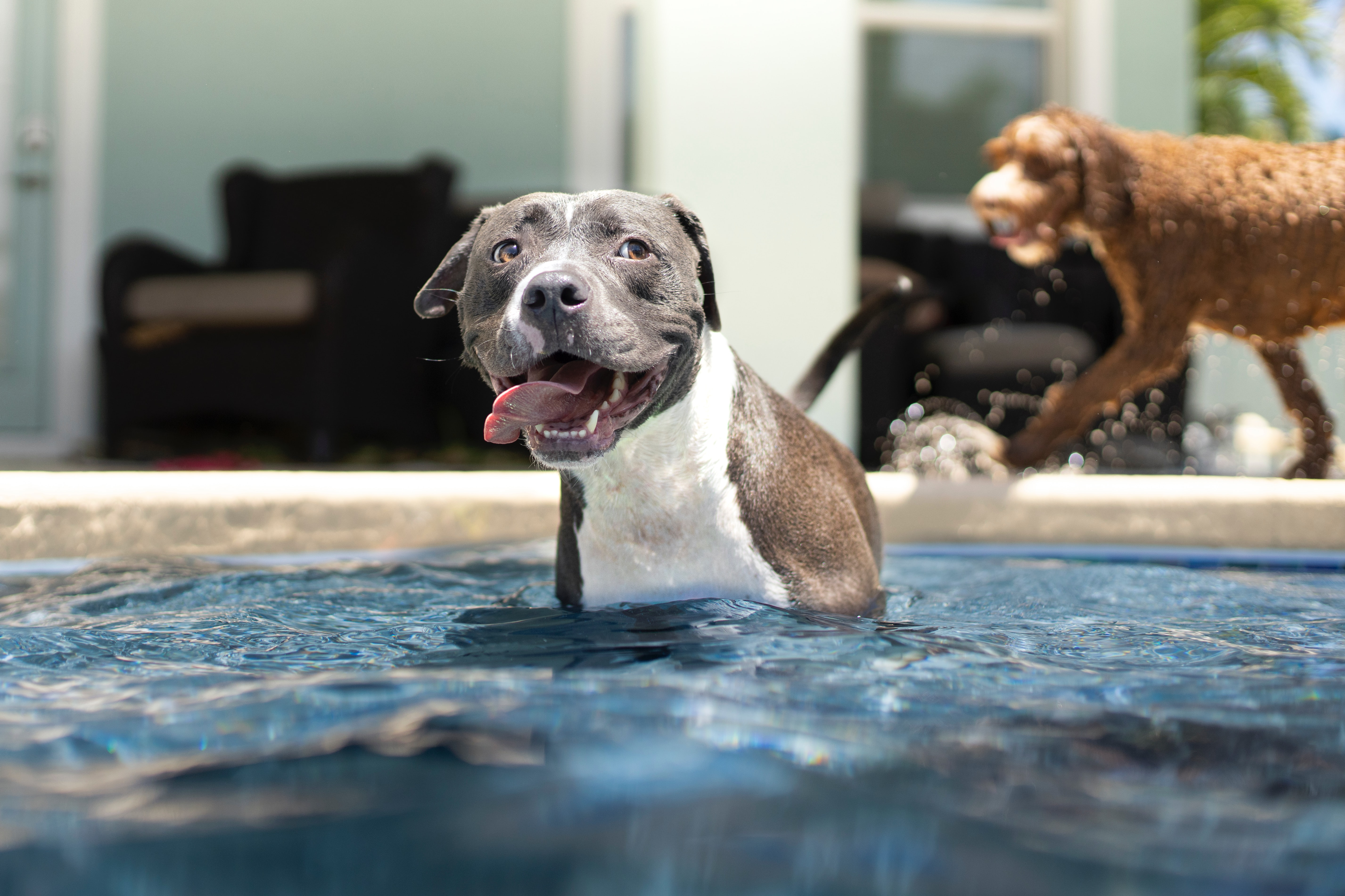 Grey and white dog sitting in pool with his tongue out and being very cute