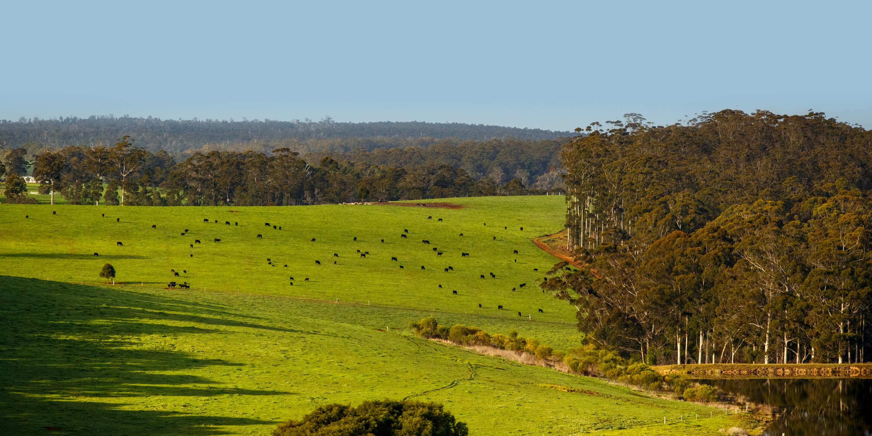 Wide angle view of the Diamond Tree property with cattle grazing on green grass surrounded by forest