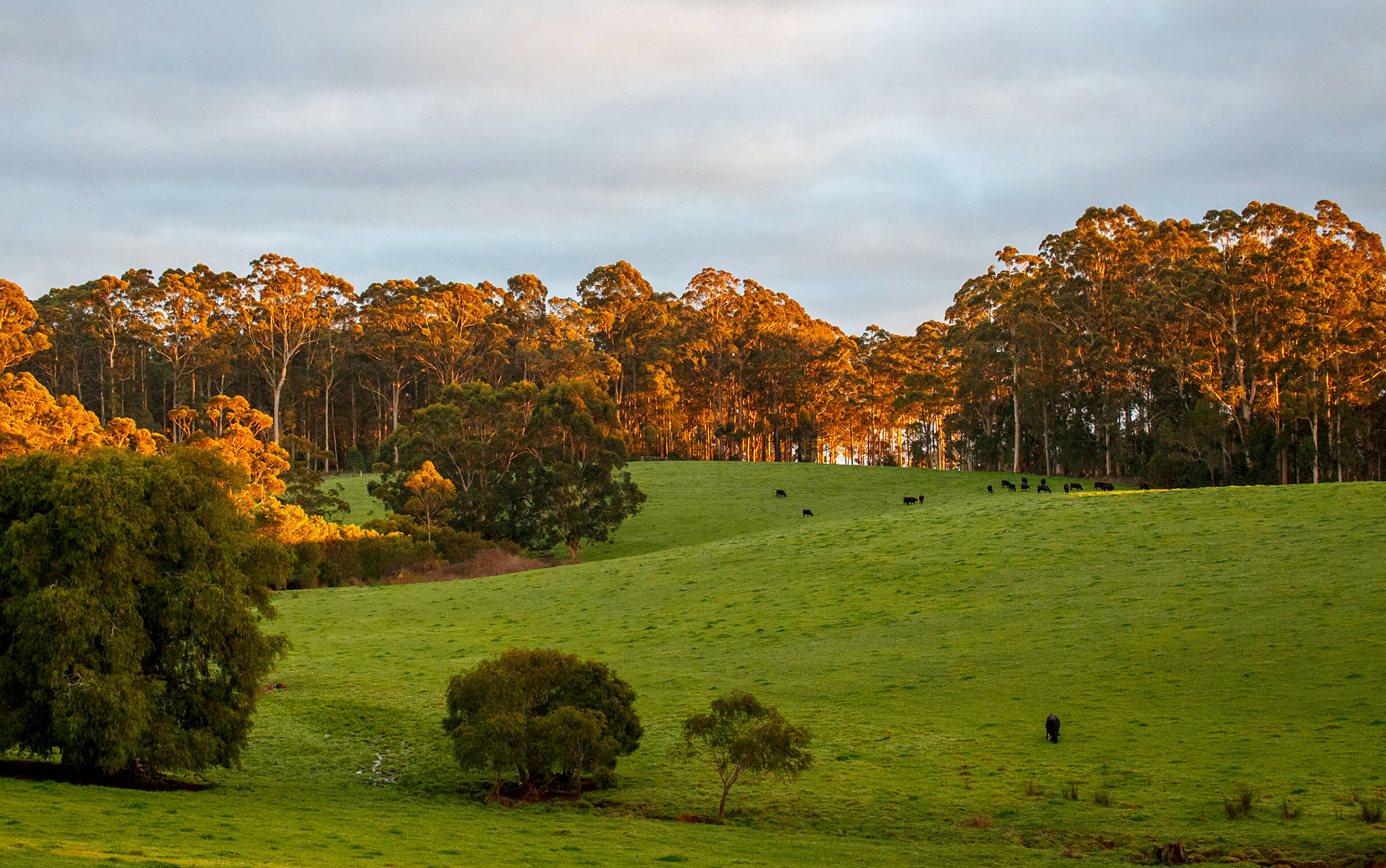 Sun rising over the Diamond Tree property while cattle graze on green grass lined with tall trees