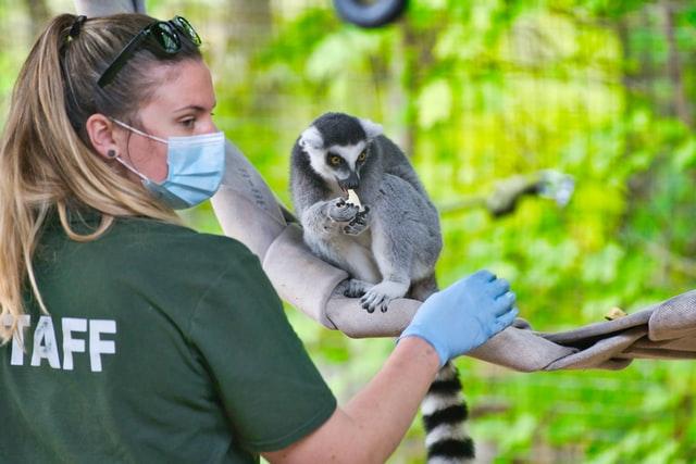 A vet tends to a lemur