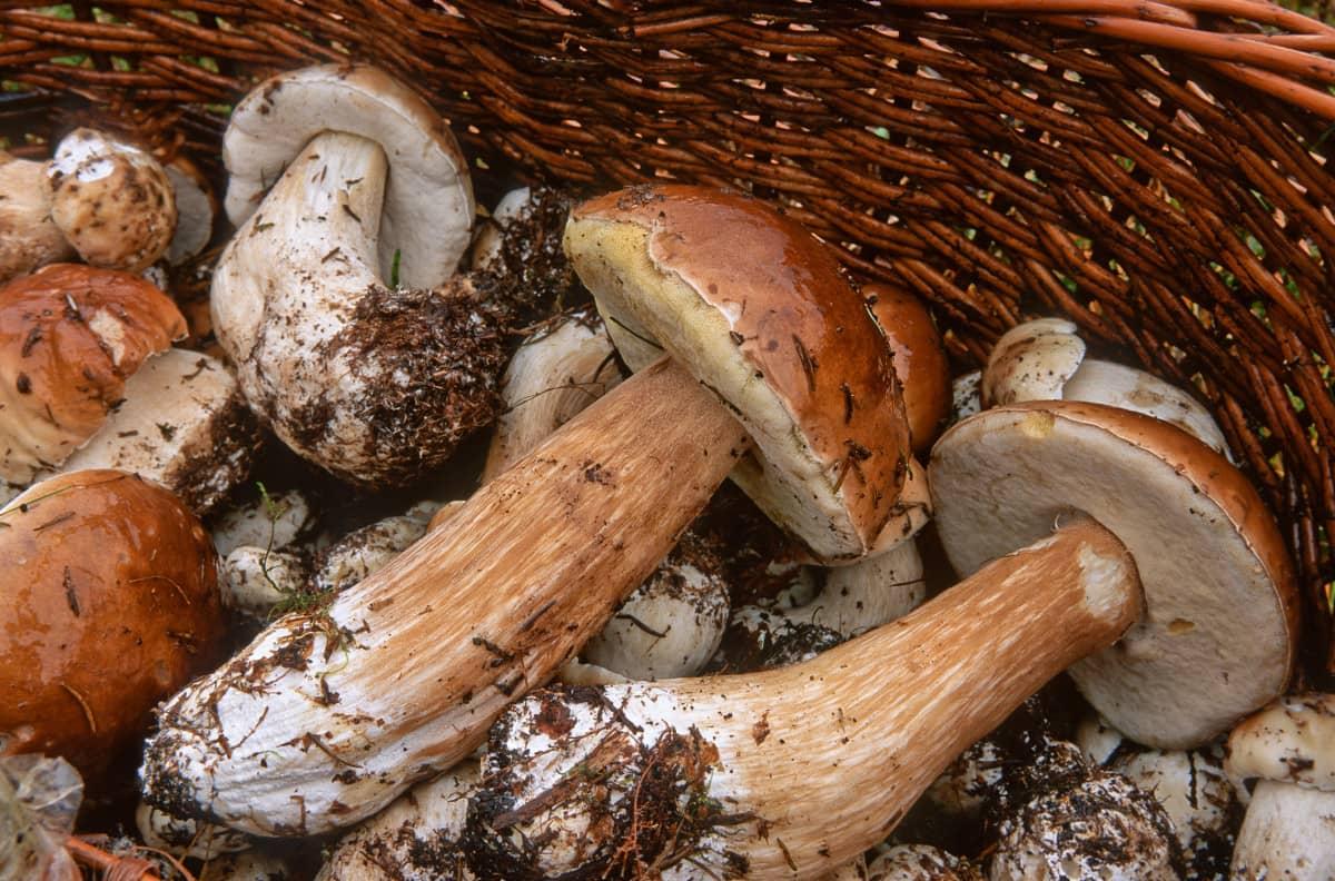Cueillir des cèpes en Corrèze