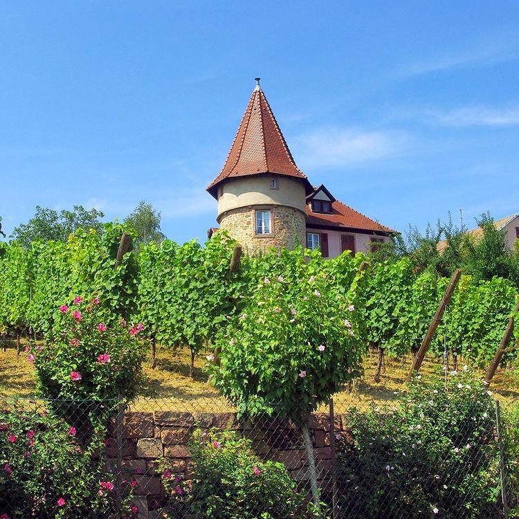 Vignoble de Zellenberg sur la route des vins d'Alsace