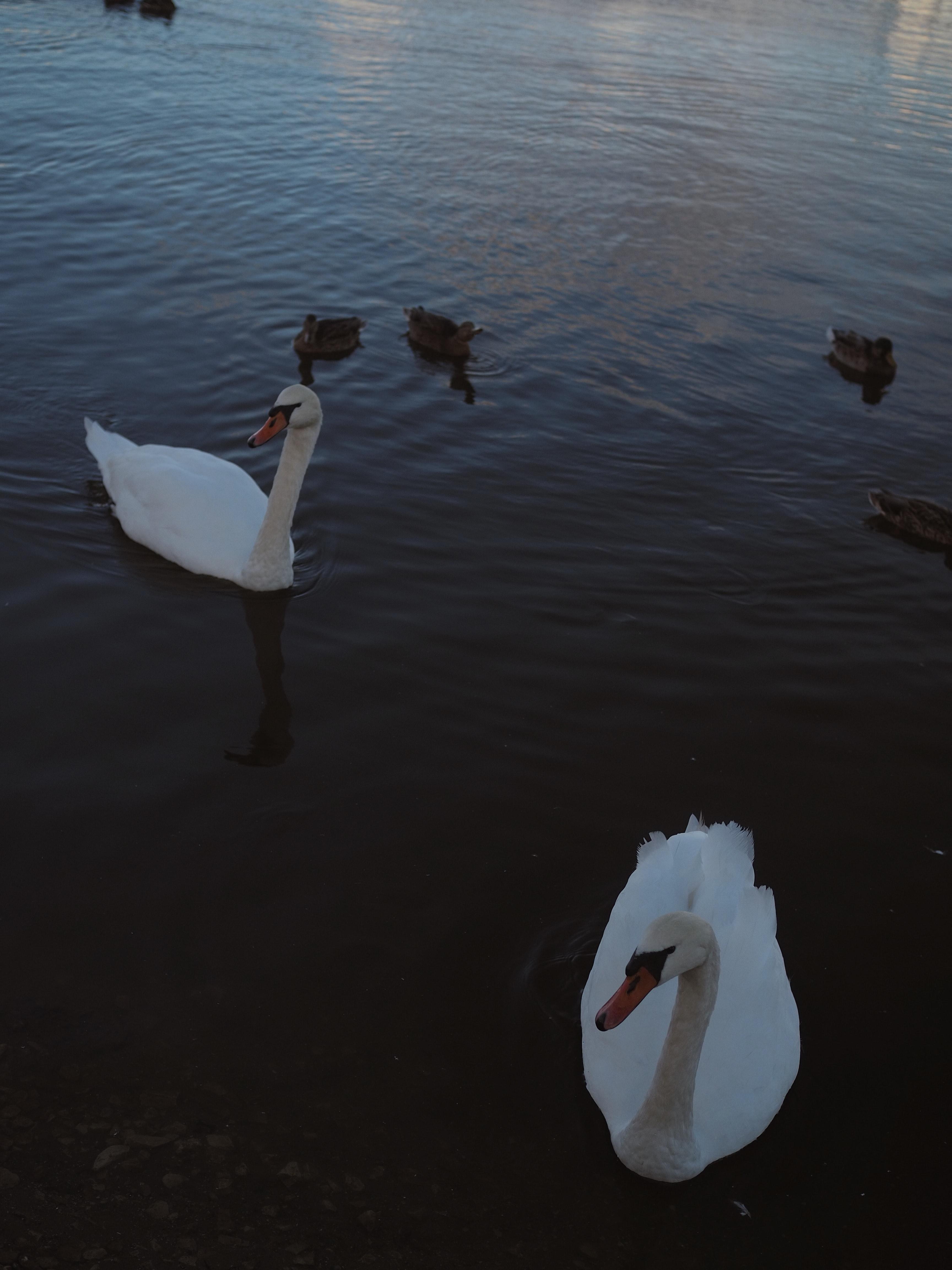 Flavio Calaon Lugano Swans